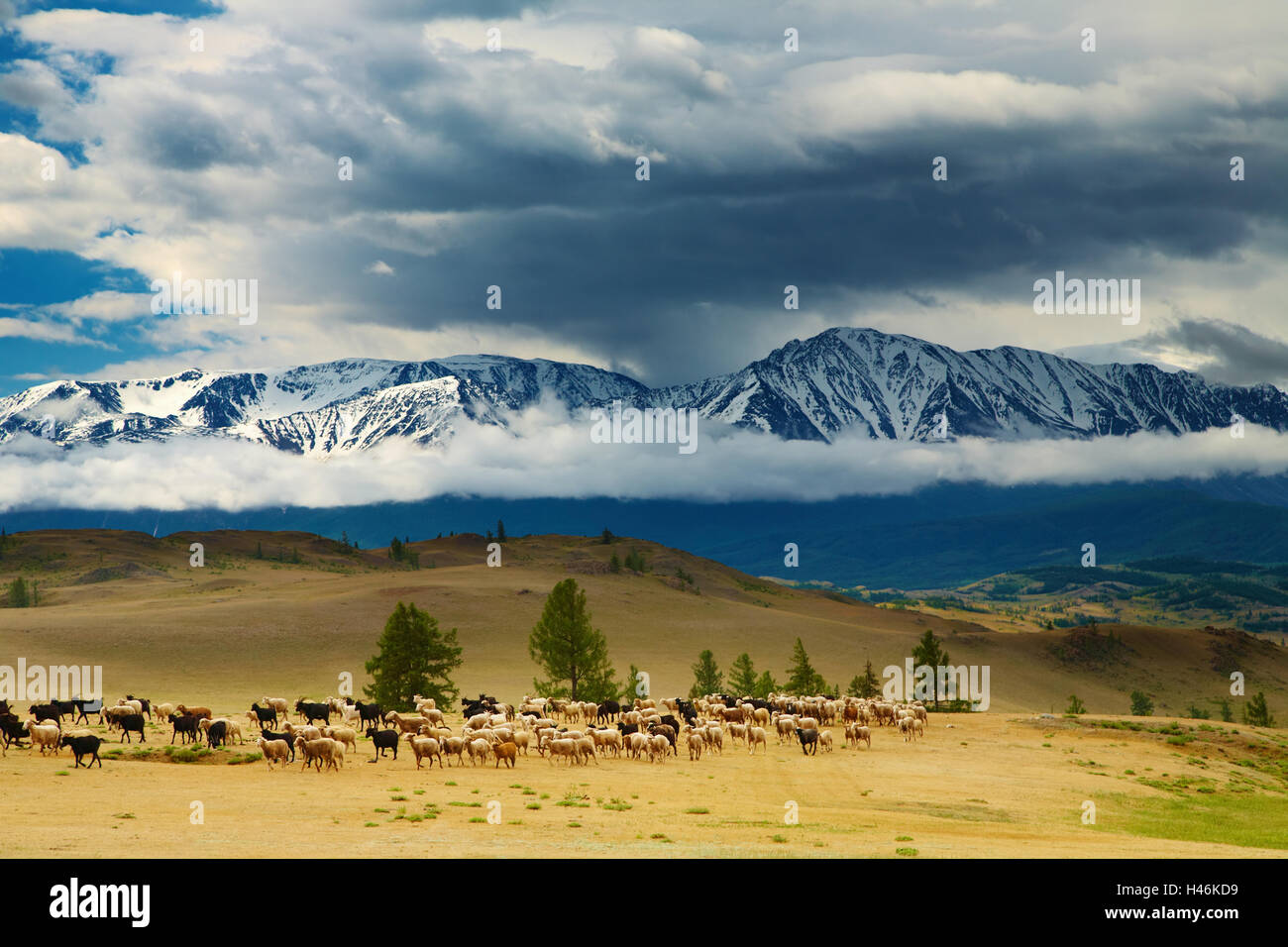 Landscape with grazing sheep and snowy mountains - Stock Image