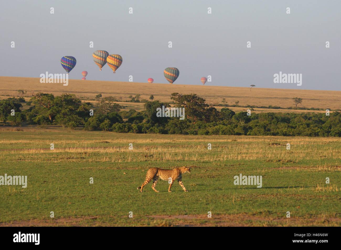 Balloon safari, steppe, cheetah, Masai Mara, Africa, Kenya, - Stock Image