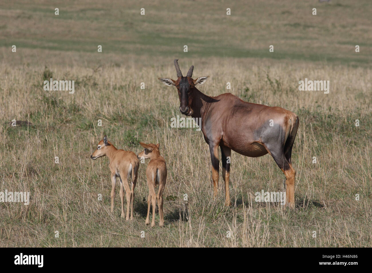 Lyre antelope with young animals, - Stock Image