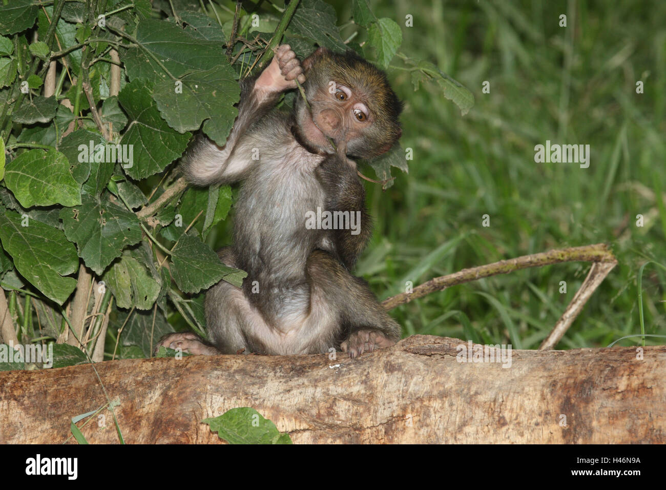 Bear's baboon young animal plays with twig, - Stock Image