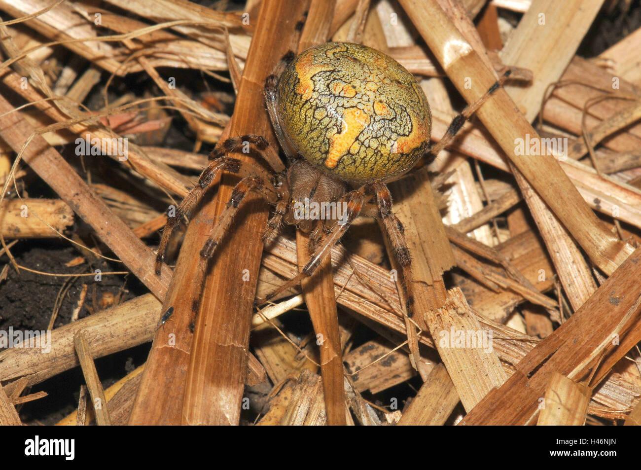 Marbled garden spider, female, yellow, red-brown, straw Stock Photo ...