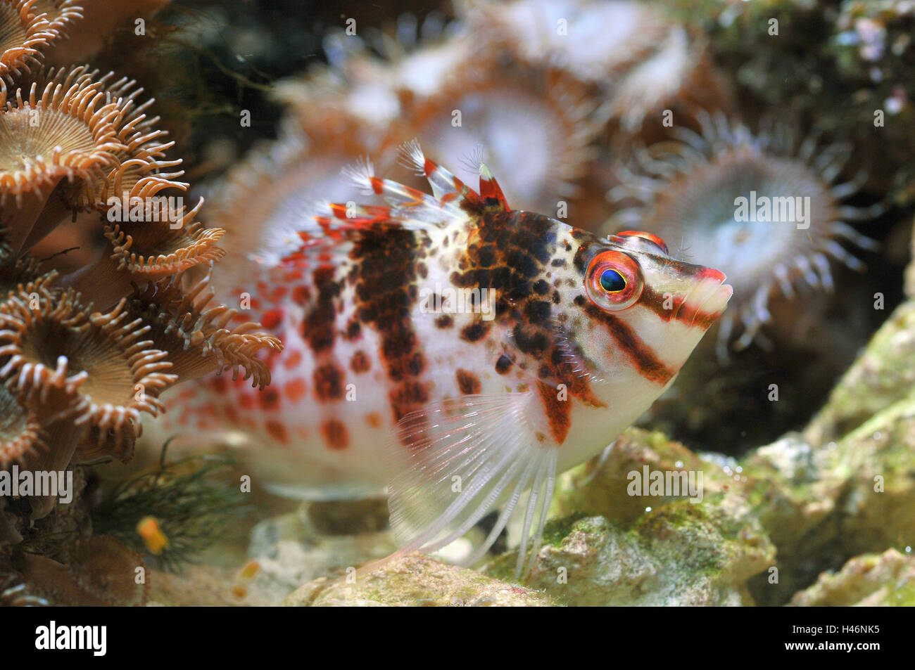 Tropical fish in coral reef, sea anemones, Stock Photo