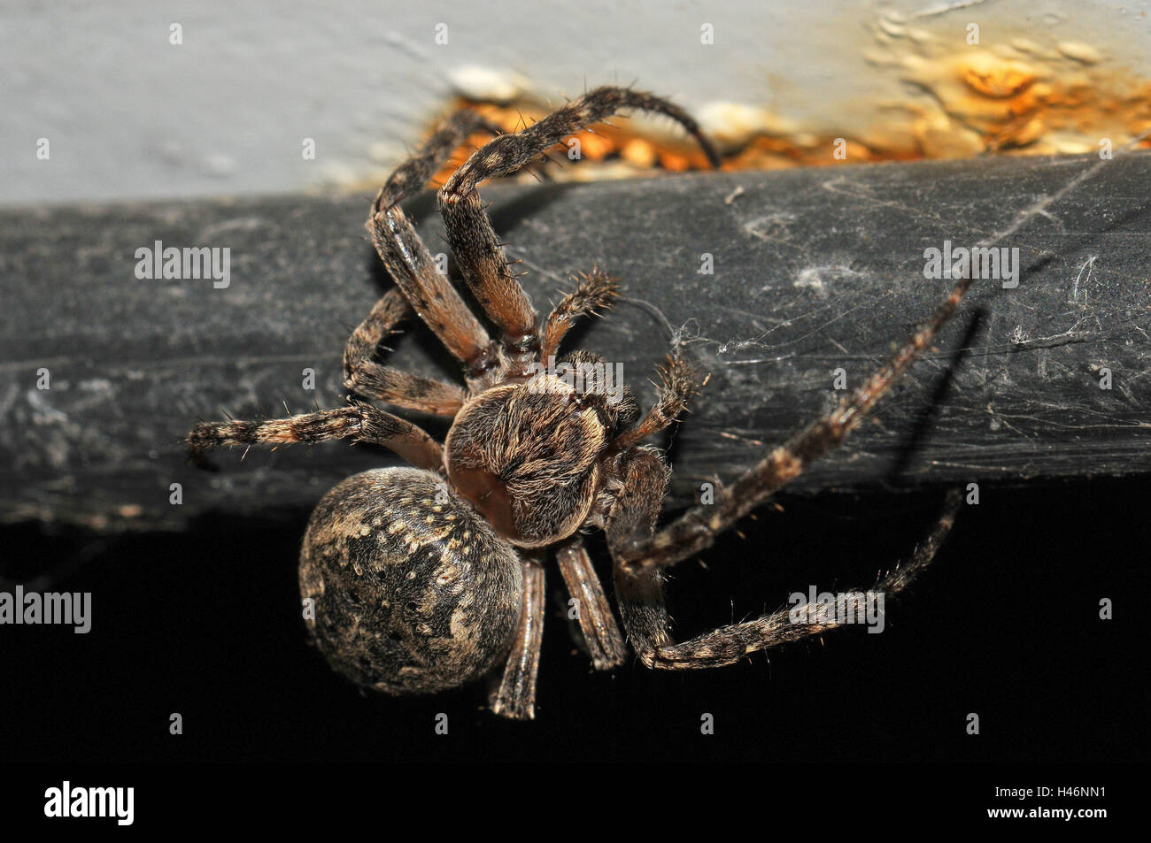 Crack garden spider on rusty pipe, - Stock Image