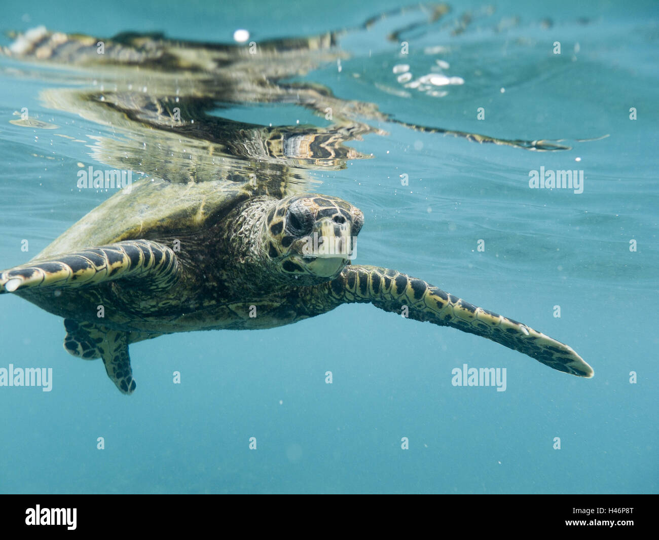 Hawksbill sea turtle, Eretmochelys imbricata bissa, underwater shot with reflection in the water surface, - Stock Image