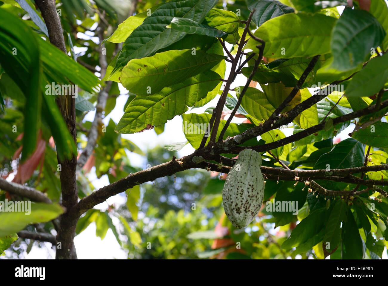 Kakaofrucht |Cocoa fruit - Stock Image