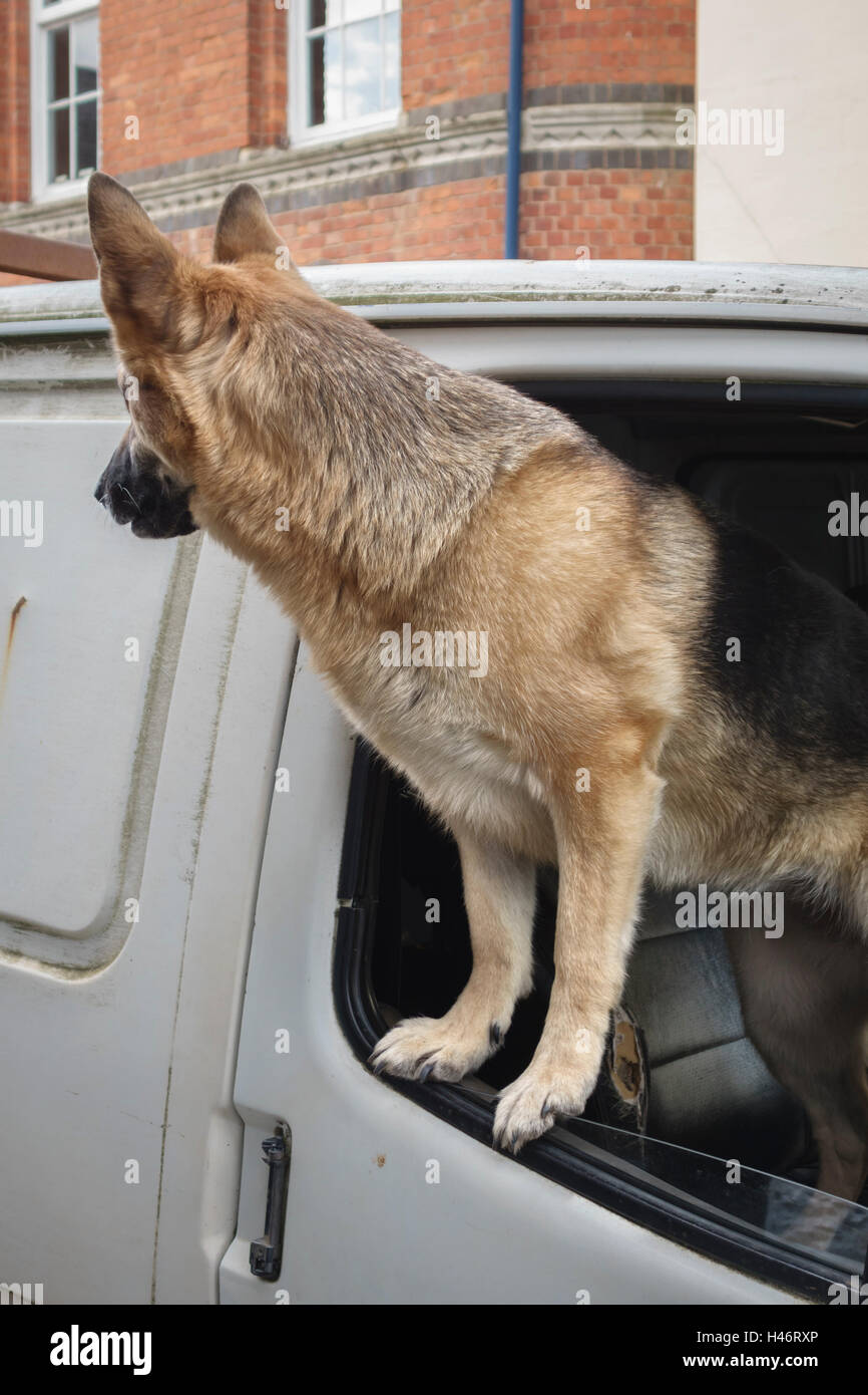 UK. An anxious Alsatian dog (German Shepherd) looking out of the window of a white van, waiting for its owner to - Stock Image