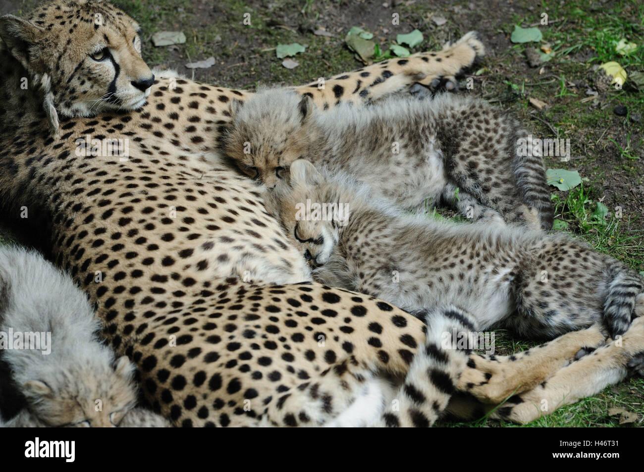 cheetah sleeping stock photos cheetah sleeping stock images page