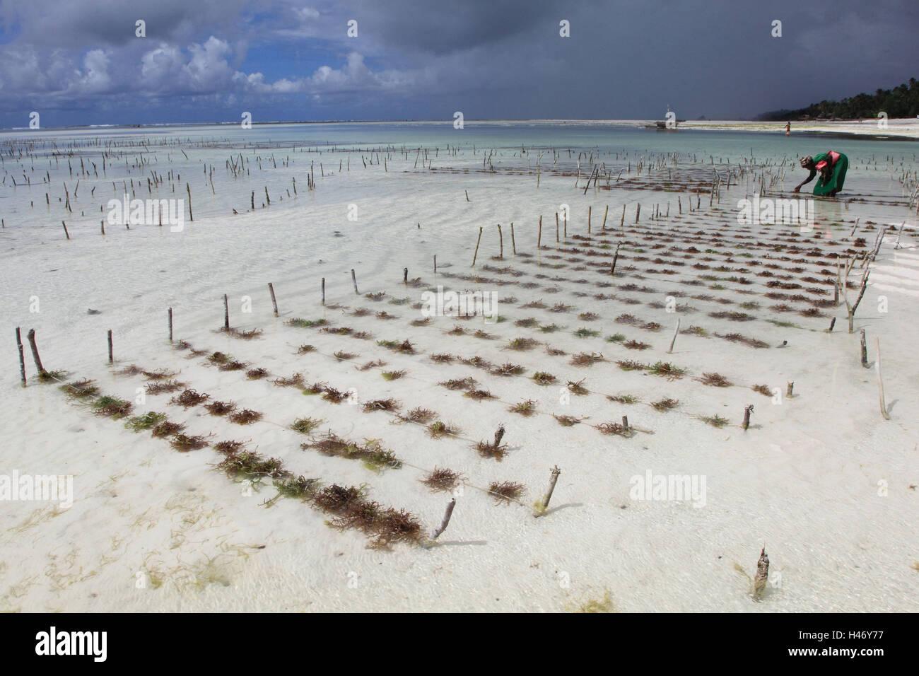 Woman with the seaweed collect, Indian ocean, Zanzibar, - Stock Image