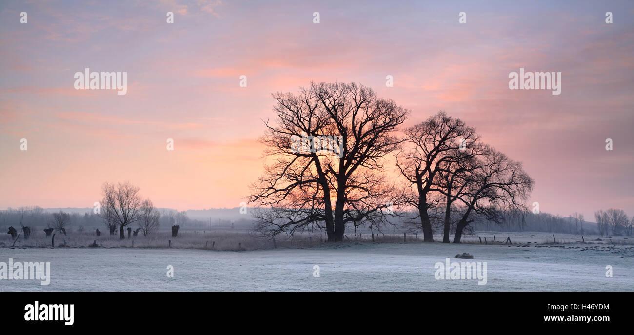 Leafless oak trees on a meadow in winter, Saxony Anhalt, Germany - Stock Image