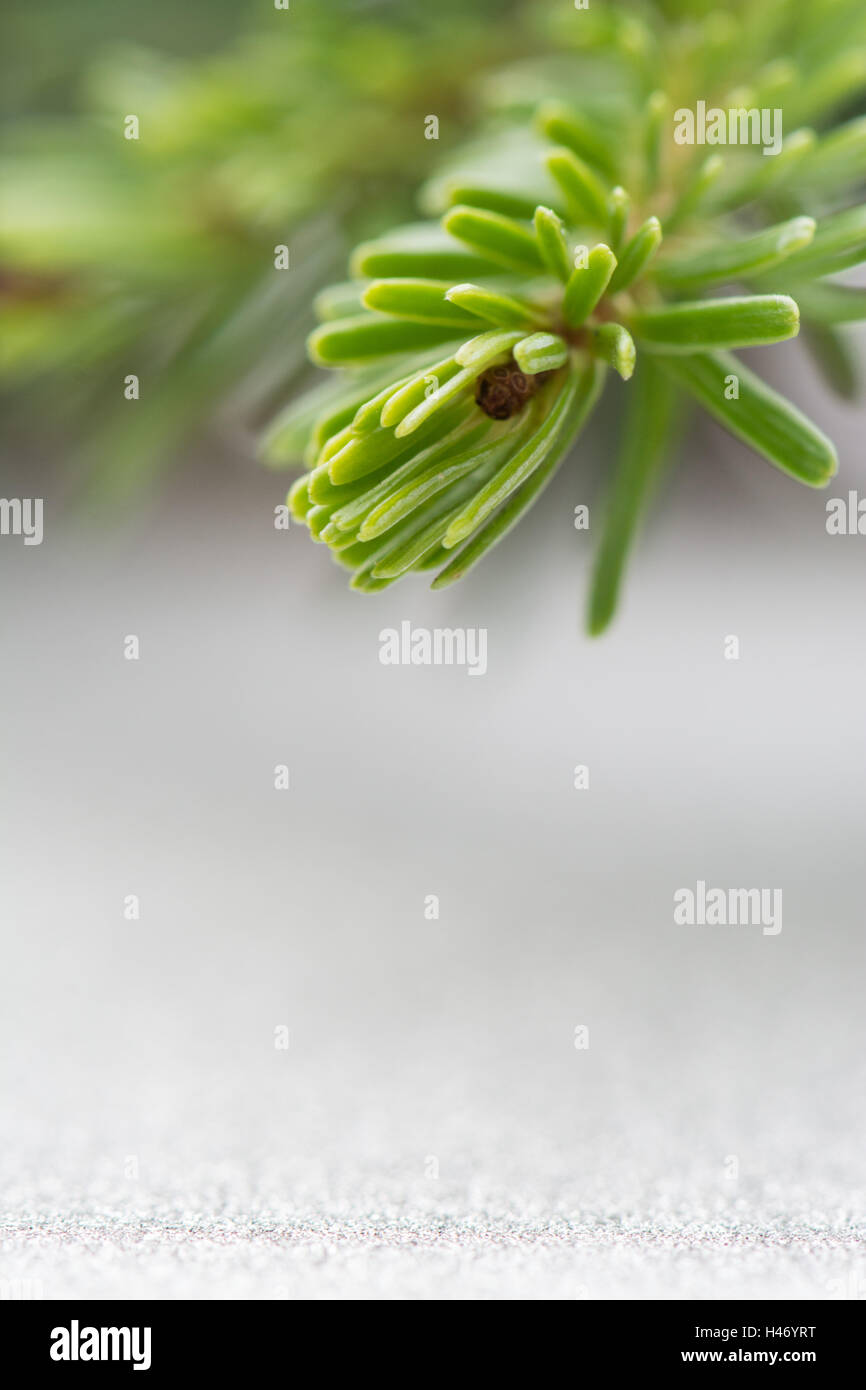 fresh christmas fir tree branch close up against a silver grey glitter background with copy space - Stock Image