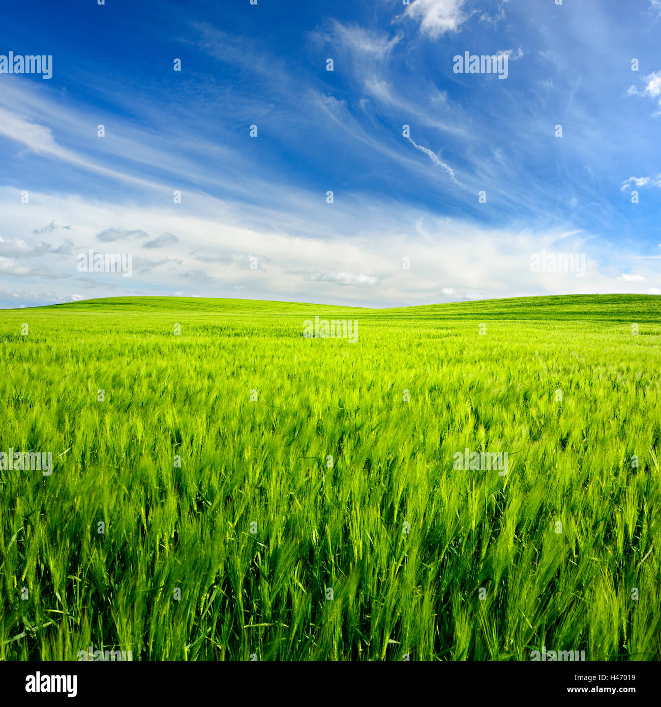 Green field with barley under blue sky in spring, Saxony Anhalt, Germany - Stock Image