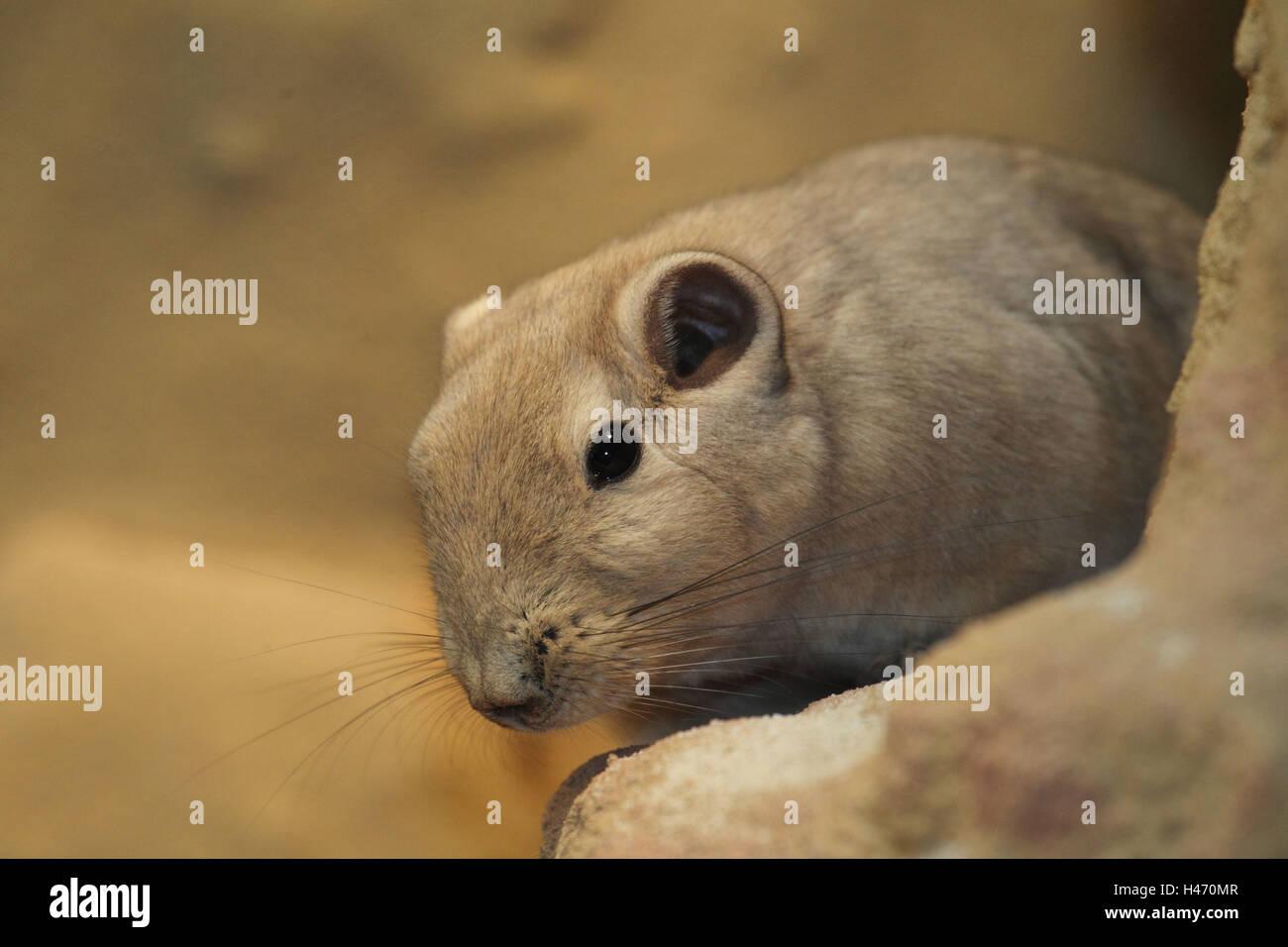 African rodent, Gundi, - Stock Image