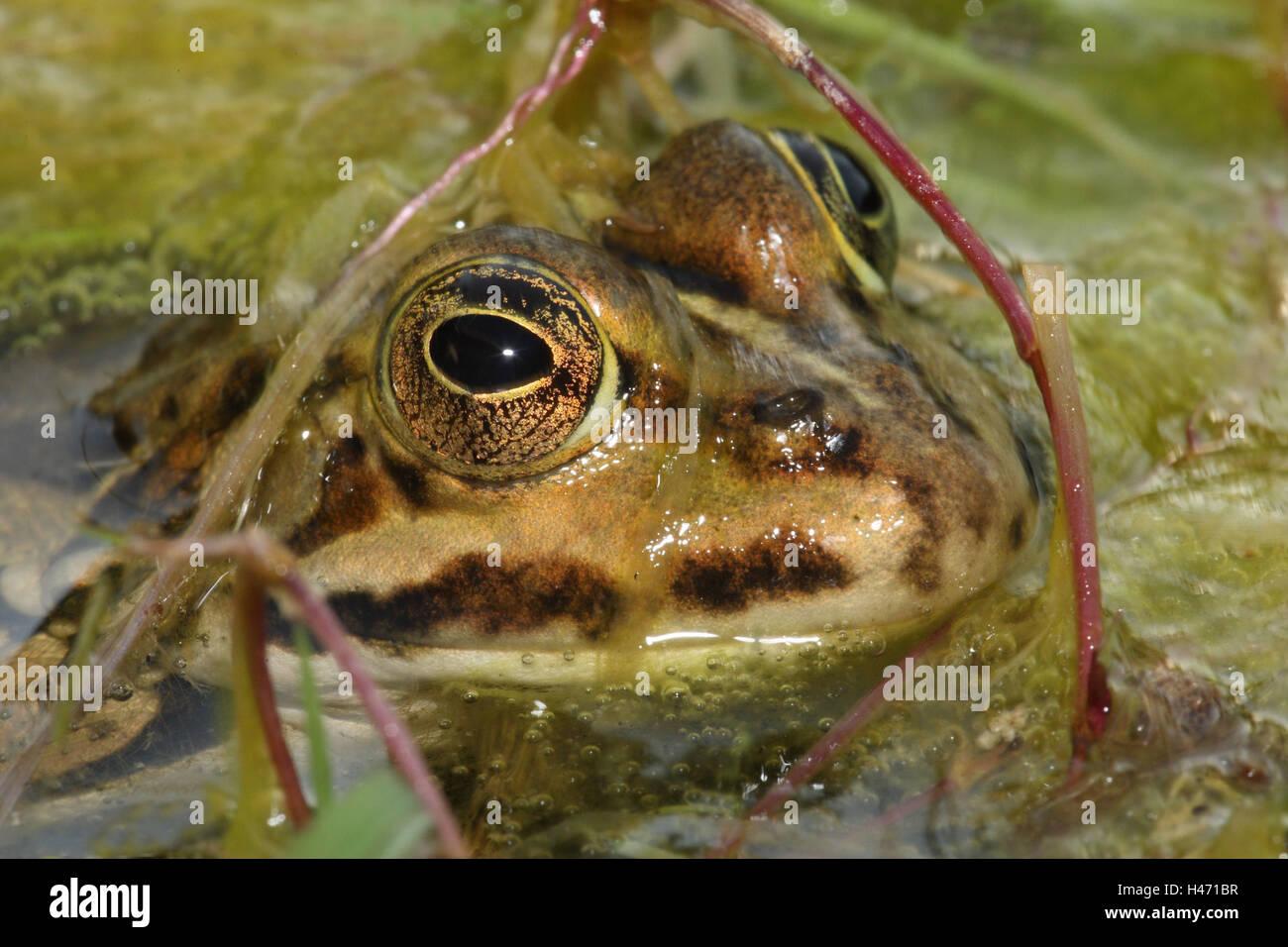 Water frog, Rana esculenta, - Stock Image