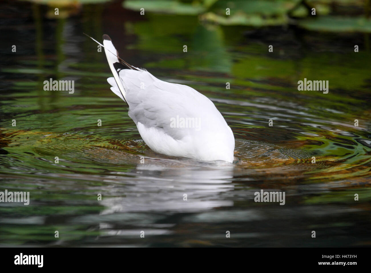 Black-headed gull, water, disappear, - Stock Image