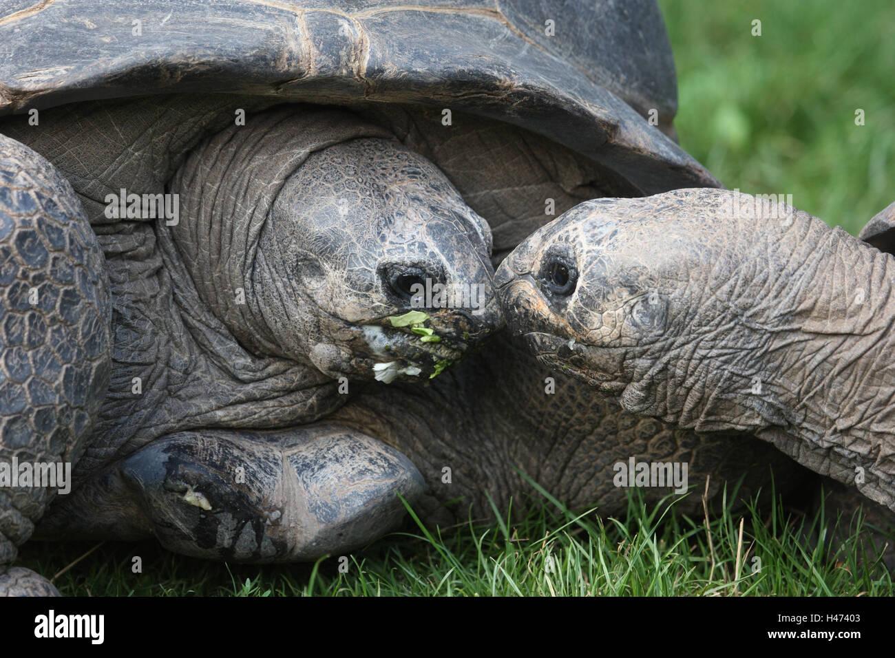 The Seychelles gigantic tortoises, - Stock Image