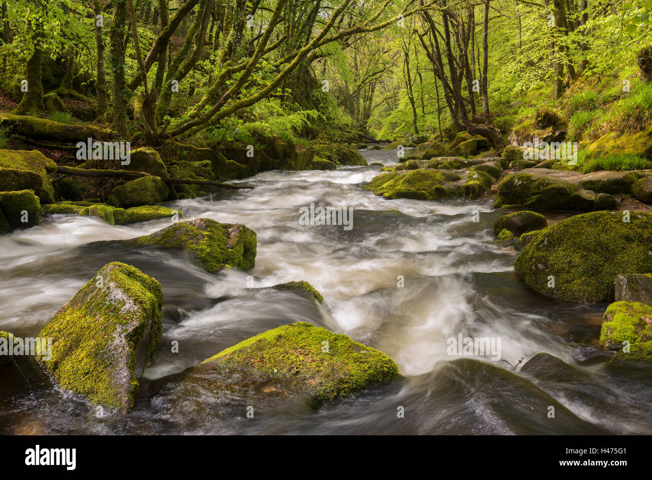 The River Fowey flowing through the moss covered woods at Golitha Falls, Cornwall, England. Spring (May) 2015. - Stock Image