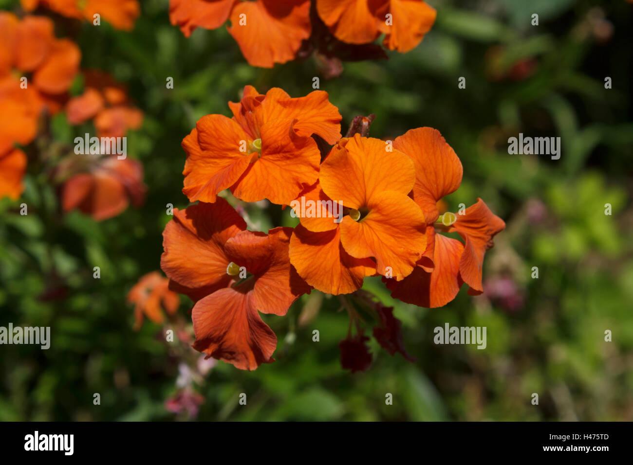 Erysimum - Apricot Twist, Wall flower - Stock Image