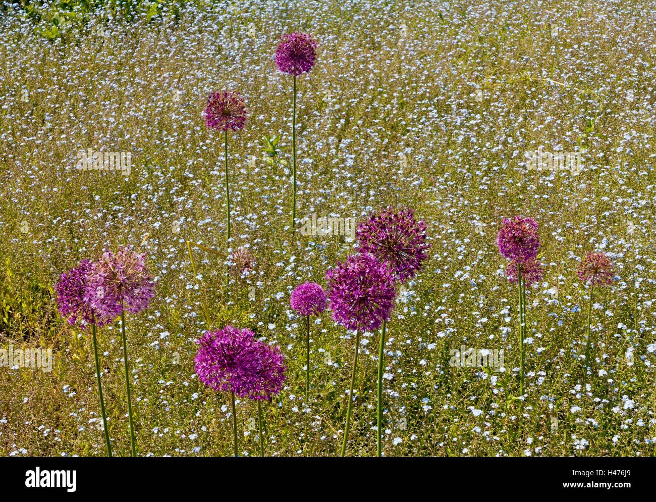 Purple allium flowers growing in a garden in early summer a genus of monocotyledonous flowering plants - Stock Image