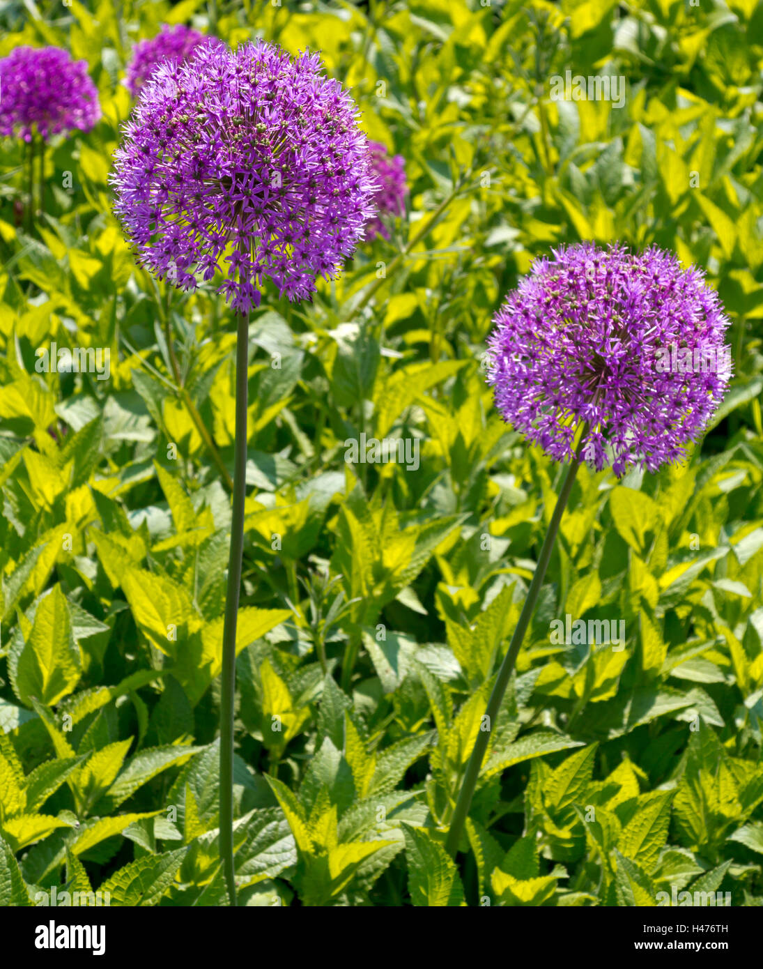 Purple allium flowers growing in a garden in early summer a genus of monocotyledonous flowering plants Stock Photo