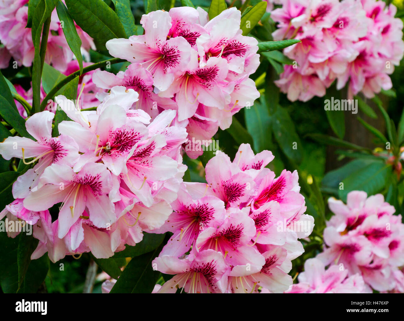 Pink rhododendron flowers growing in a garden in early summer a genus of many species of woody plants in the family - Stock Image