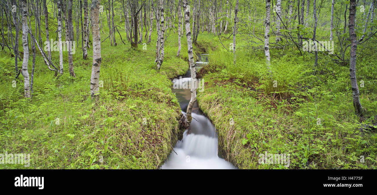 Norway, Nordland, birch forest, brook, Stock Photo