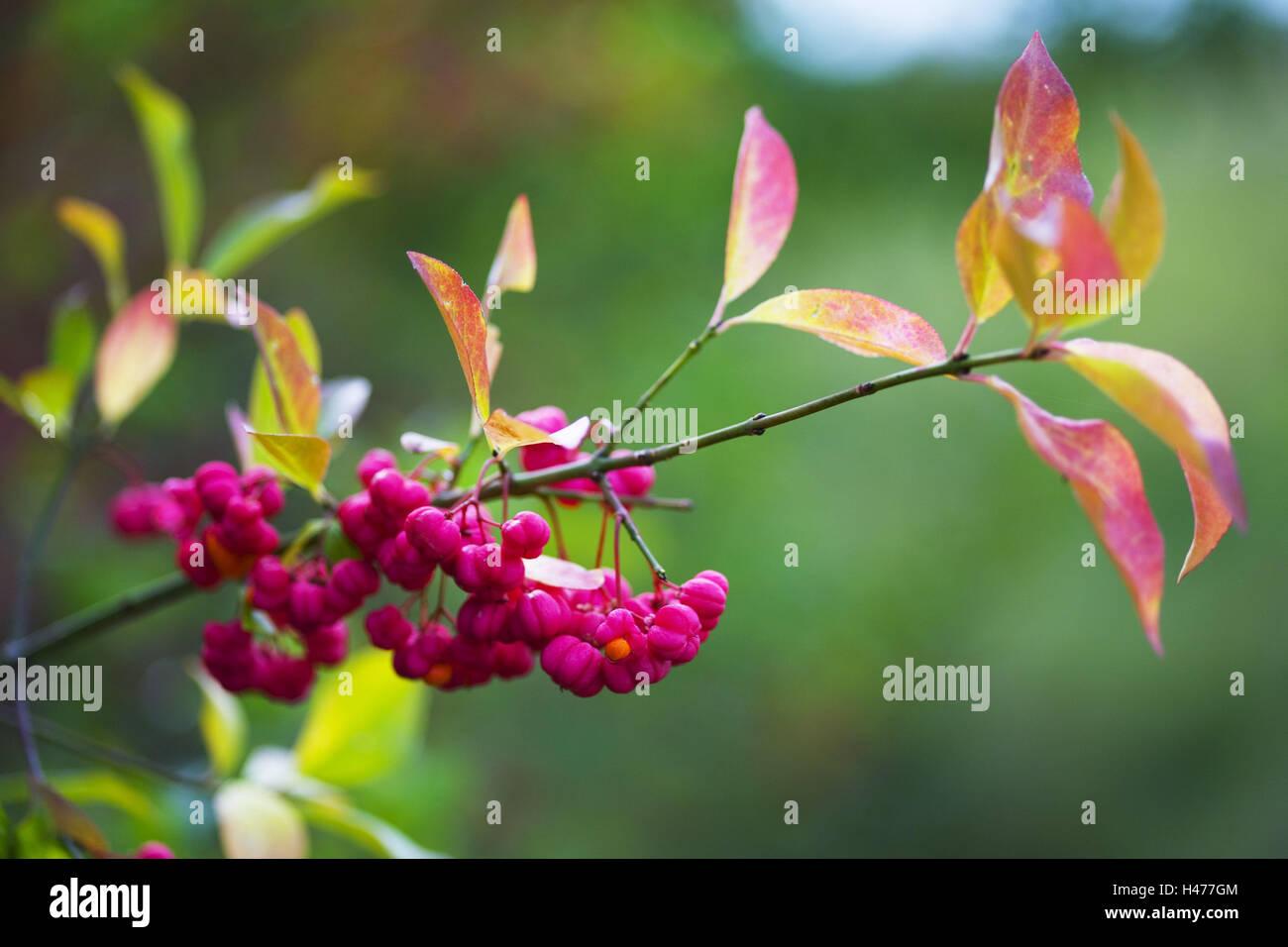 European spindle, twig, - Stock Image