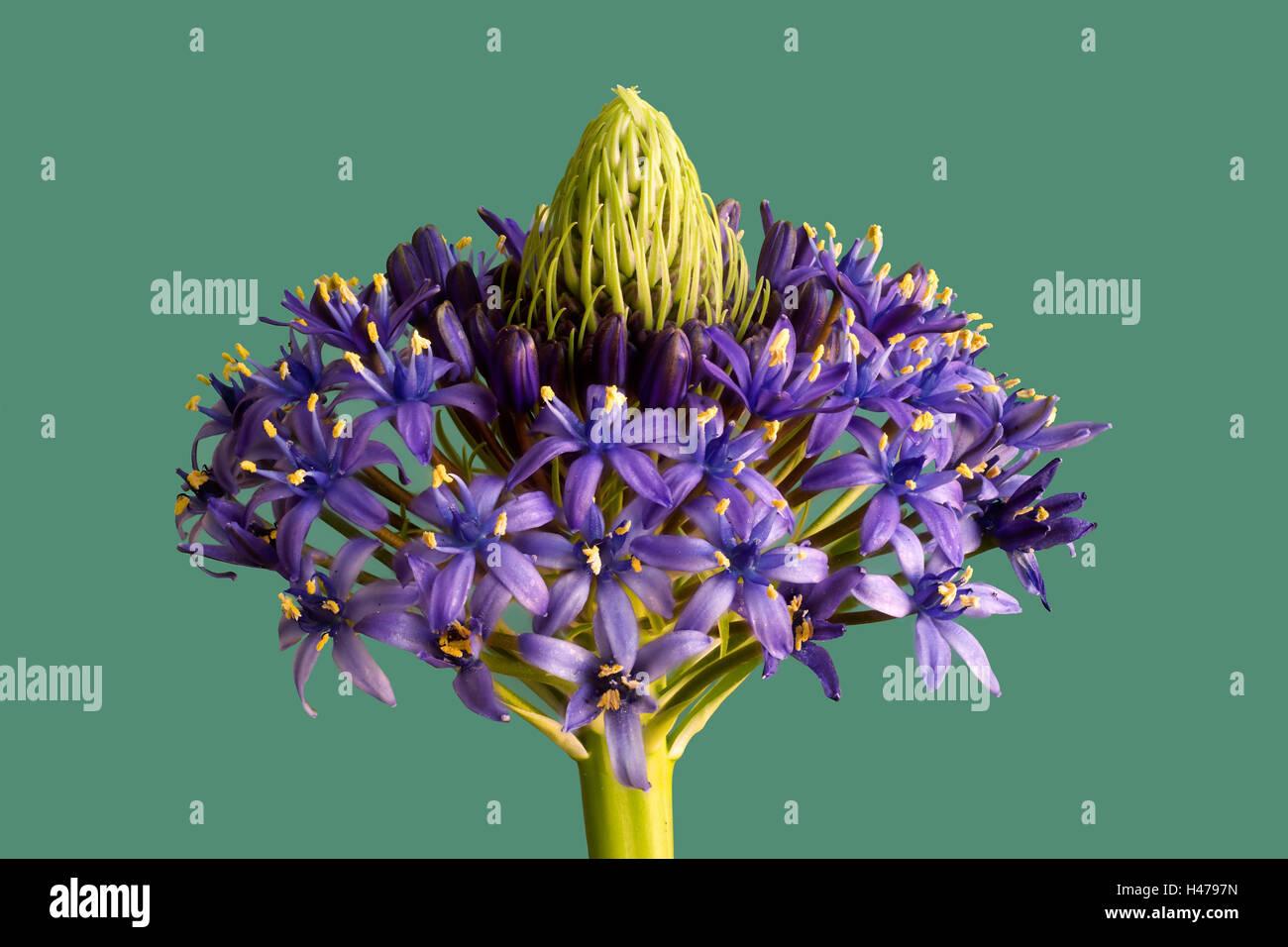 Of Peruvian Blaustern, blossom, blue stars, Scilla, inflorescence, [M], inflorescence, spring, Frühlingsblüher, - Stock Image