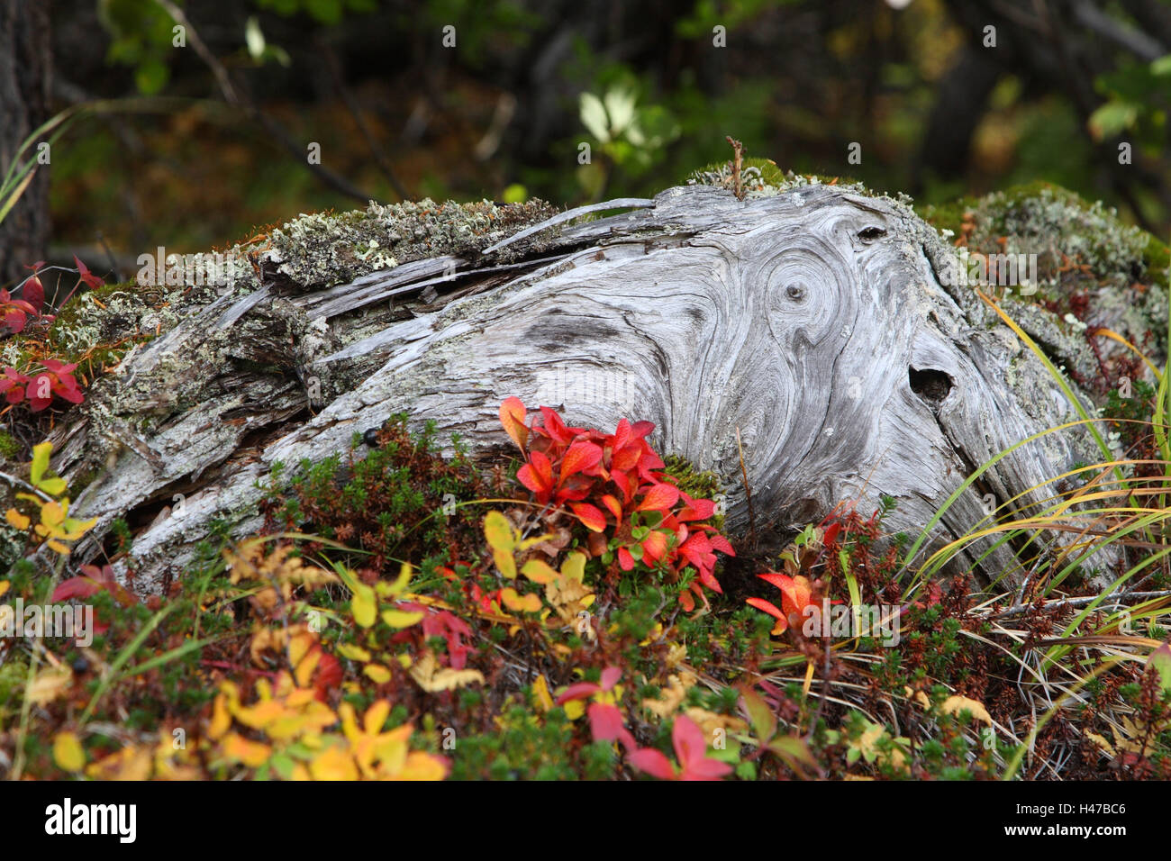 Tree root, leaves, alps-bear's grape, autumn, - Stock Image