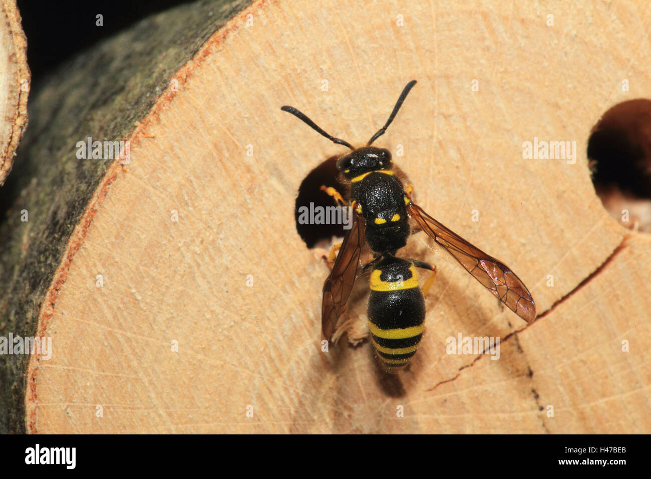 Hardhead's fly, brood pit, medium close-up, landscape format, insect, animal, wild animal, insect house, fly, - Stock Image