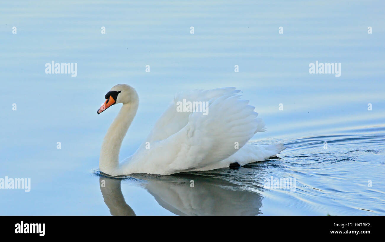 Mute swan swimming in a blue lake  in 'busking', wings up, pose - Stock Image