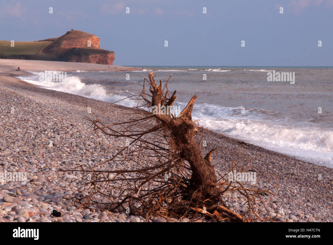 A large piece of driftwood on a pebble beach, at Budleigh Salterton, Devon - Stock Image