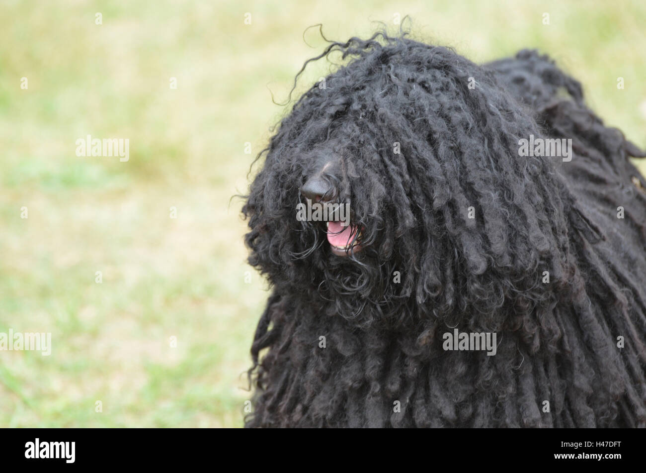 Puli Puppy Stock Photos Puli Puppy Stock Images Alamy