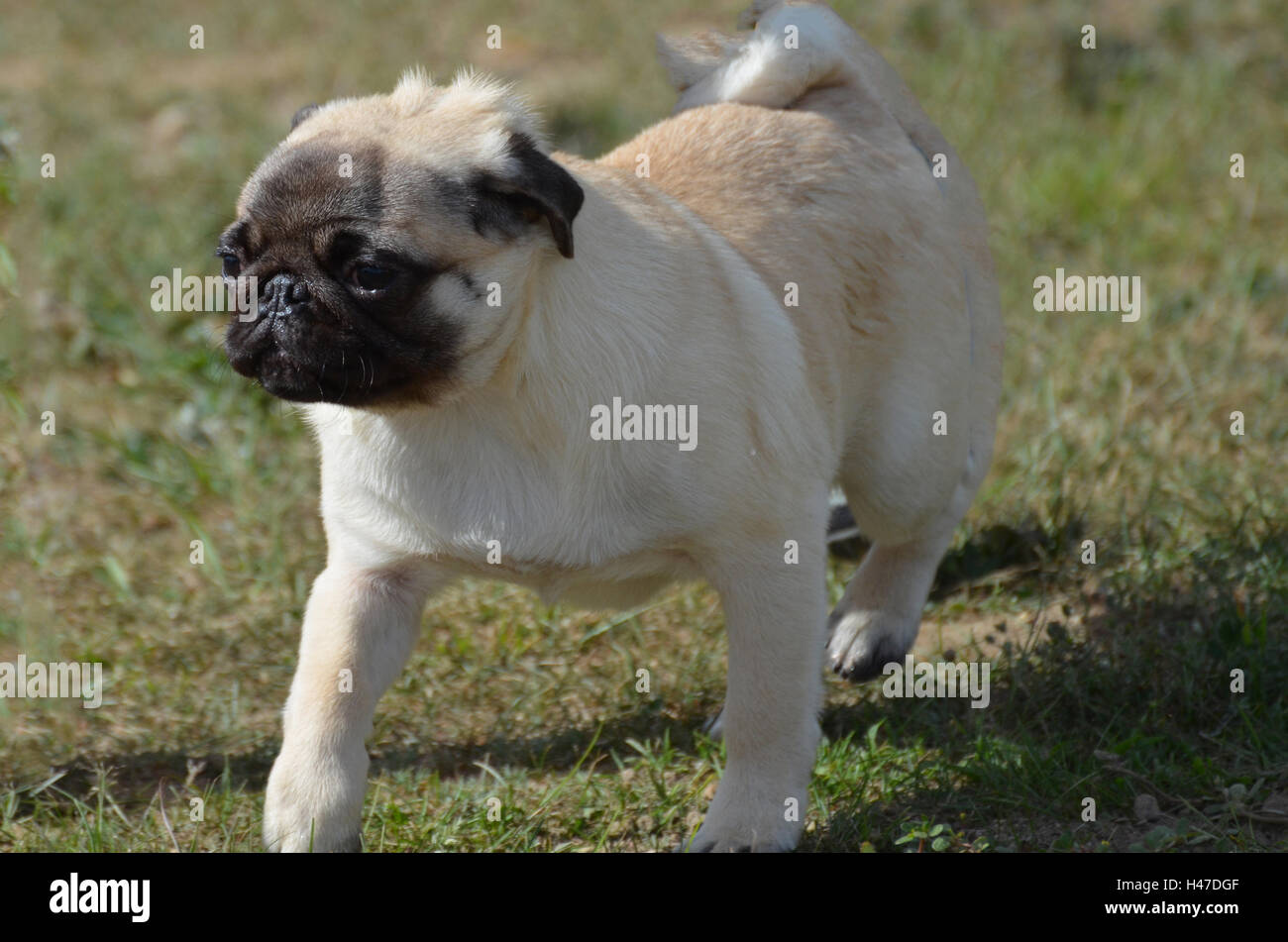 Cute pug dog walking gingerly on the grass. - Stock Image