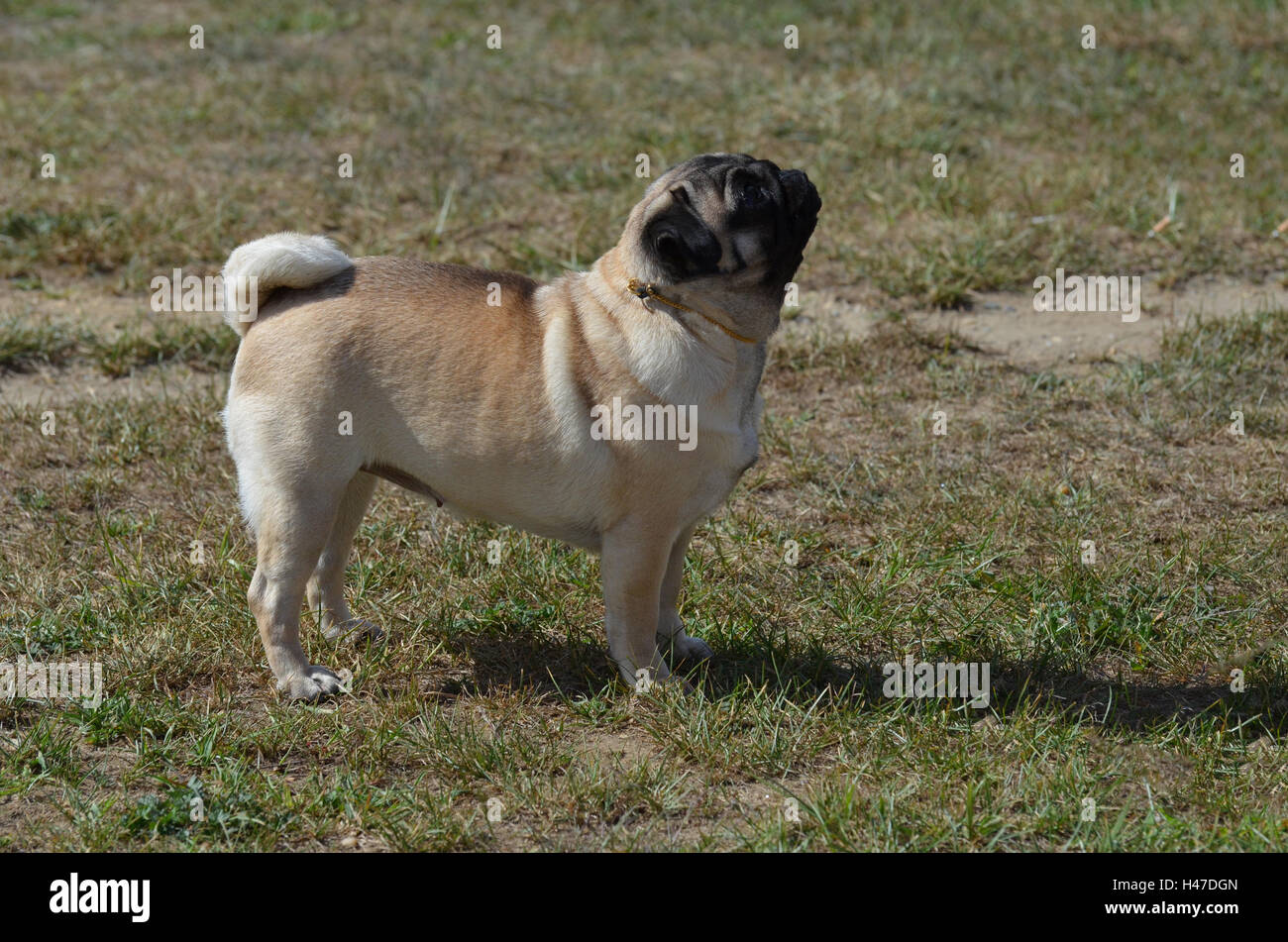 Pug dog looking up attentively. - Stock Image