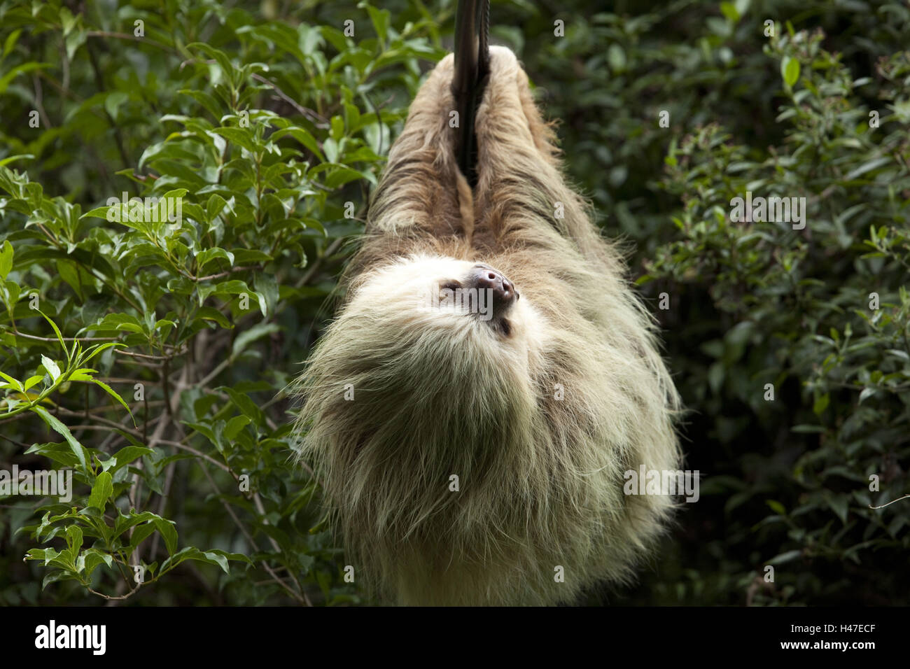 Sloth, province Alajuela, Costa Rica, waterfall gardens, Cascada La Paz, - Stock Image