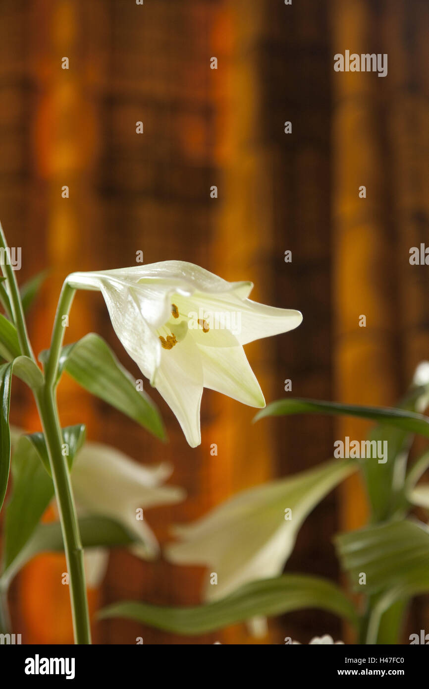 Lilies, blossoms, indoors, curtain, flowers, white, Lilia, plants, flowers, - Stock Image
