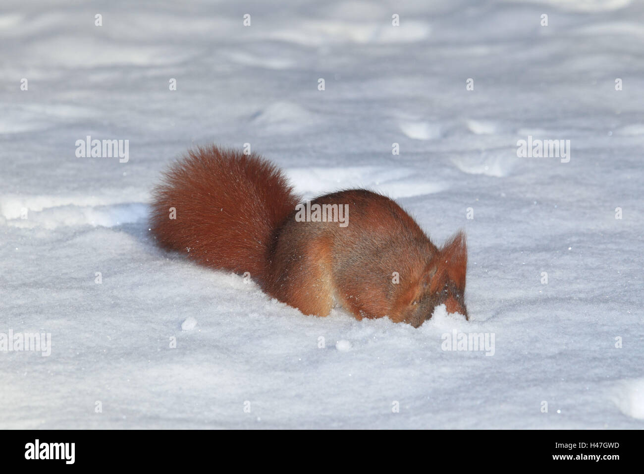 Squirrel in winter, food search, - Stock Image