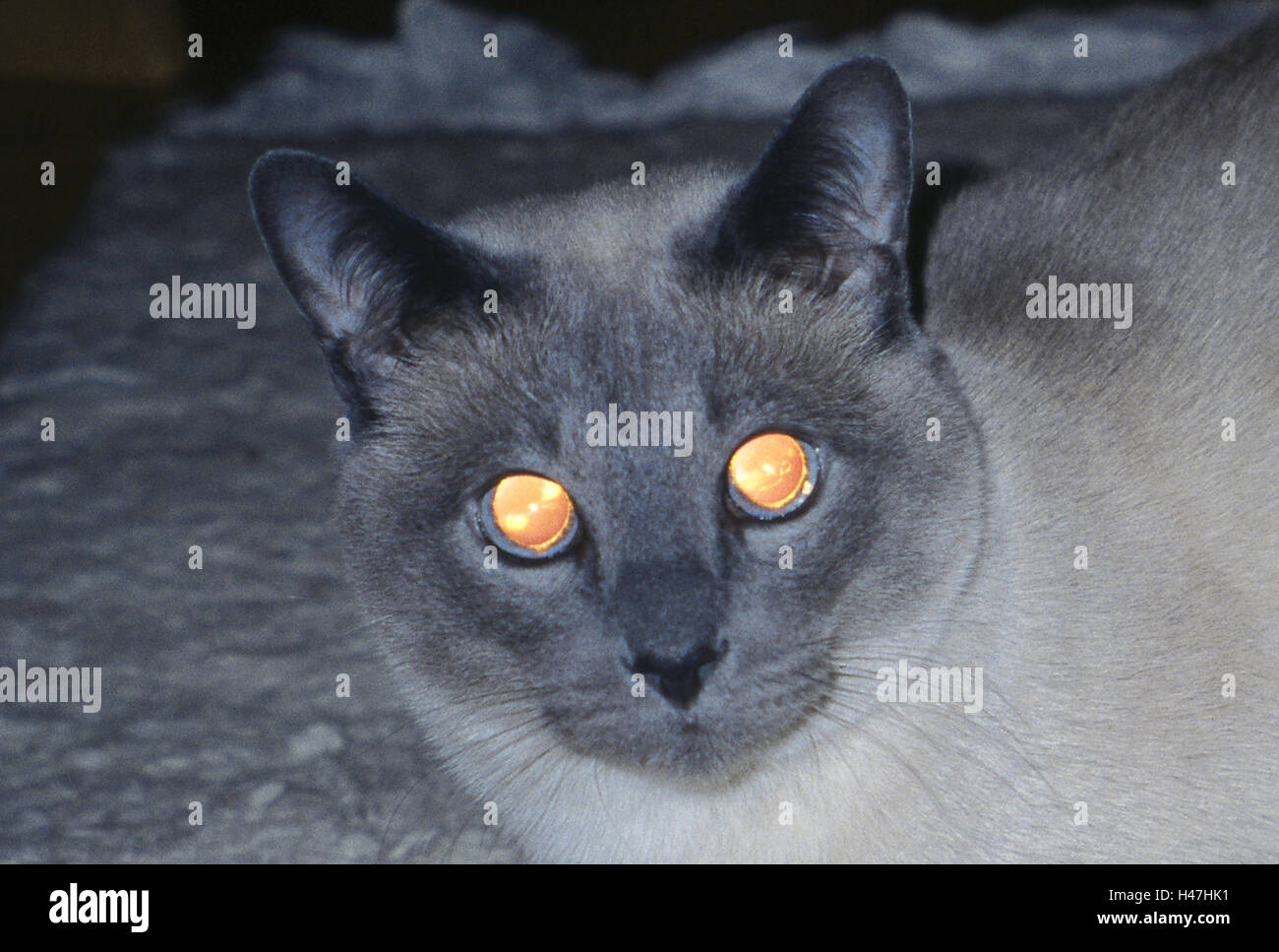 Cats, Tonkanese, darkness, eyes, detail, shine, reflect, animals, mammals, mammal, pets, house cats, portrait, cat's - Stock Image