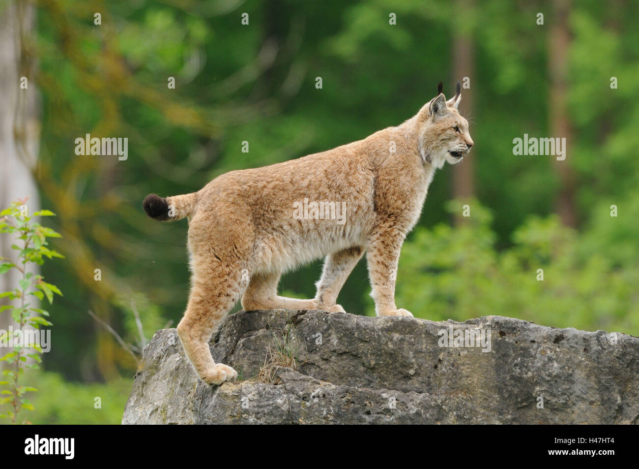 Eurasian lynx, Lynx lynx, rock, side view, standing, - Stock Image