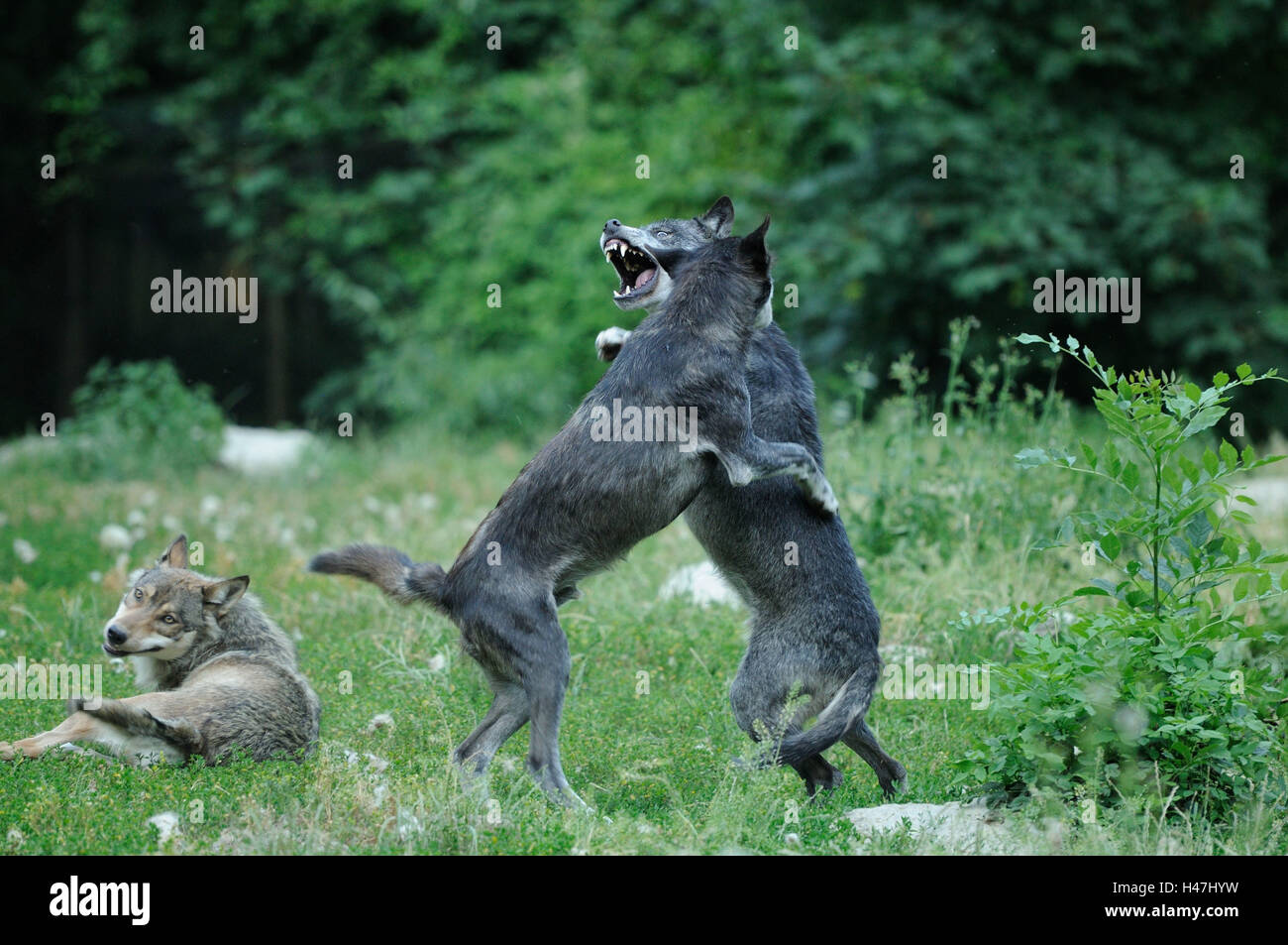Eastern Timber Wolves Canis Lupus Lycaon Meadow Side View Hind