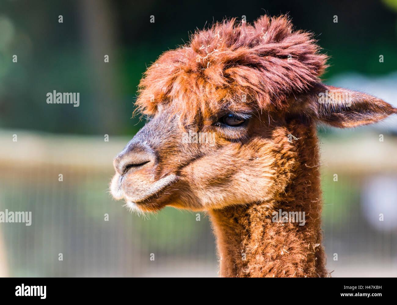 Red Llama captured in the sunlight, London, UK. - Stock Image