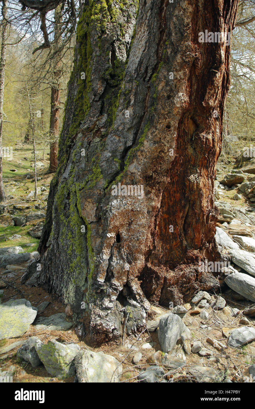 mighty strain of a larch, medium close-up, detail, - Stock Image