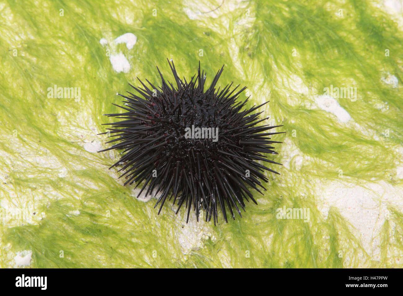 Sea urchin, - Stock Image
