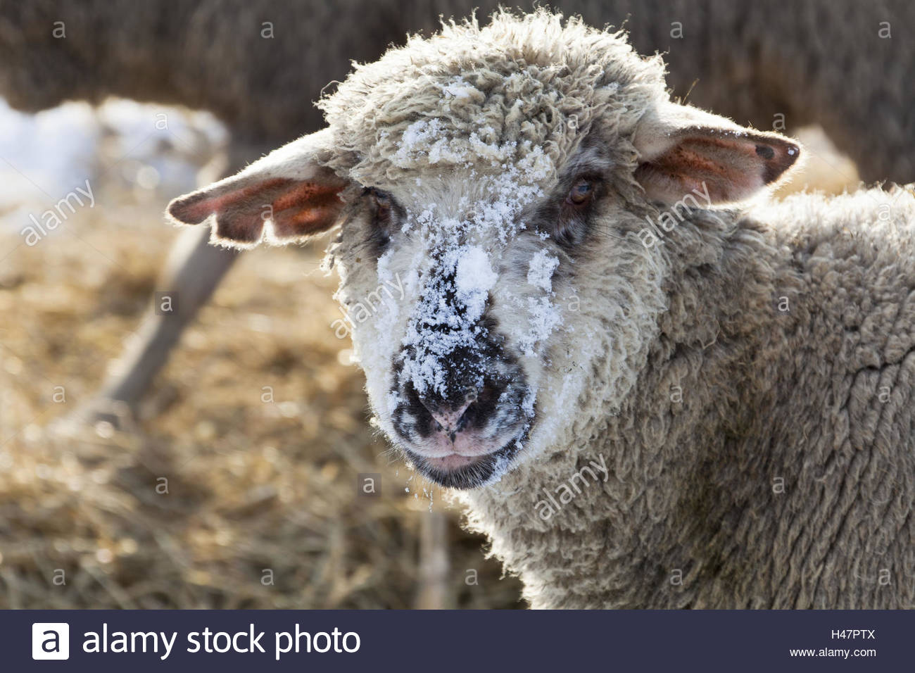 Sheep, portrait, snowcovered face, attentive - Stock Image