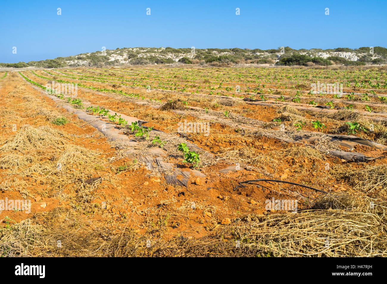 The farm lands with the young plants and irrigation system, Cape Greco, Cyprus. - Stock Image