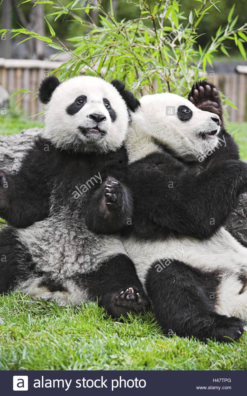 Pandas, 'of big pandas', Ailuropoda melanoleuca, - Stock Image