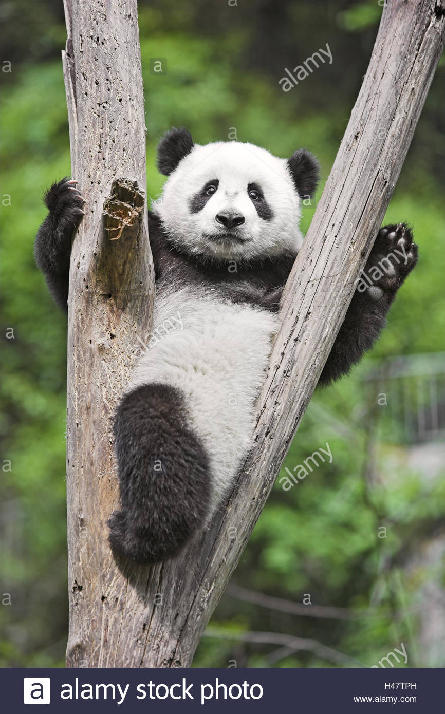 Panda, 'of big pandas', Ailuropoda melanoleuca, tree, crotch, sit, - Stock Image