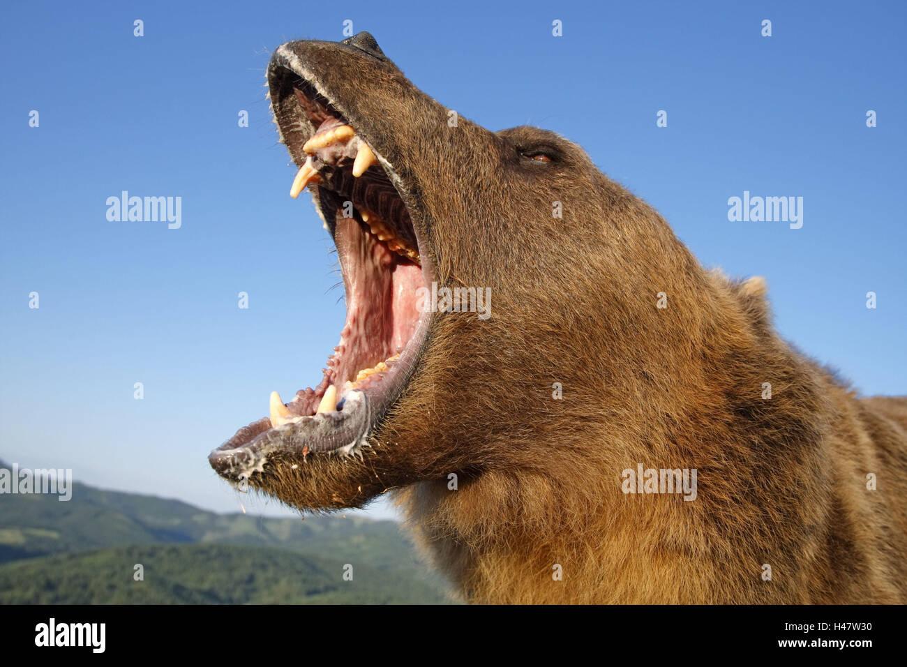 roar grizzly bear stock photos amp roar grizzly bear stock
