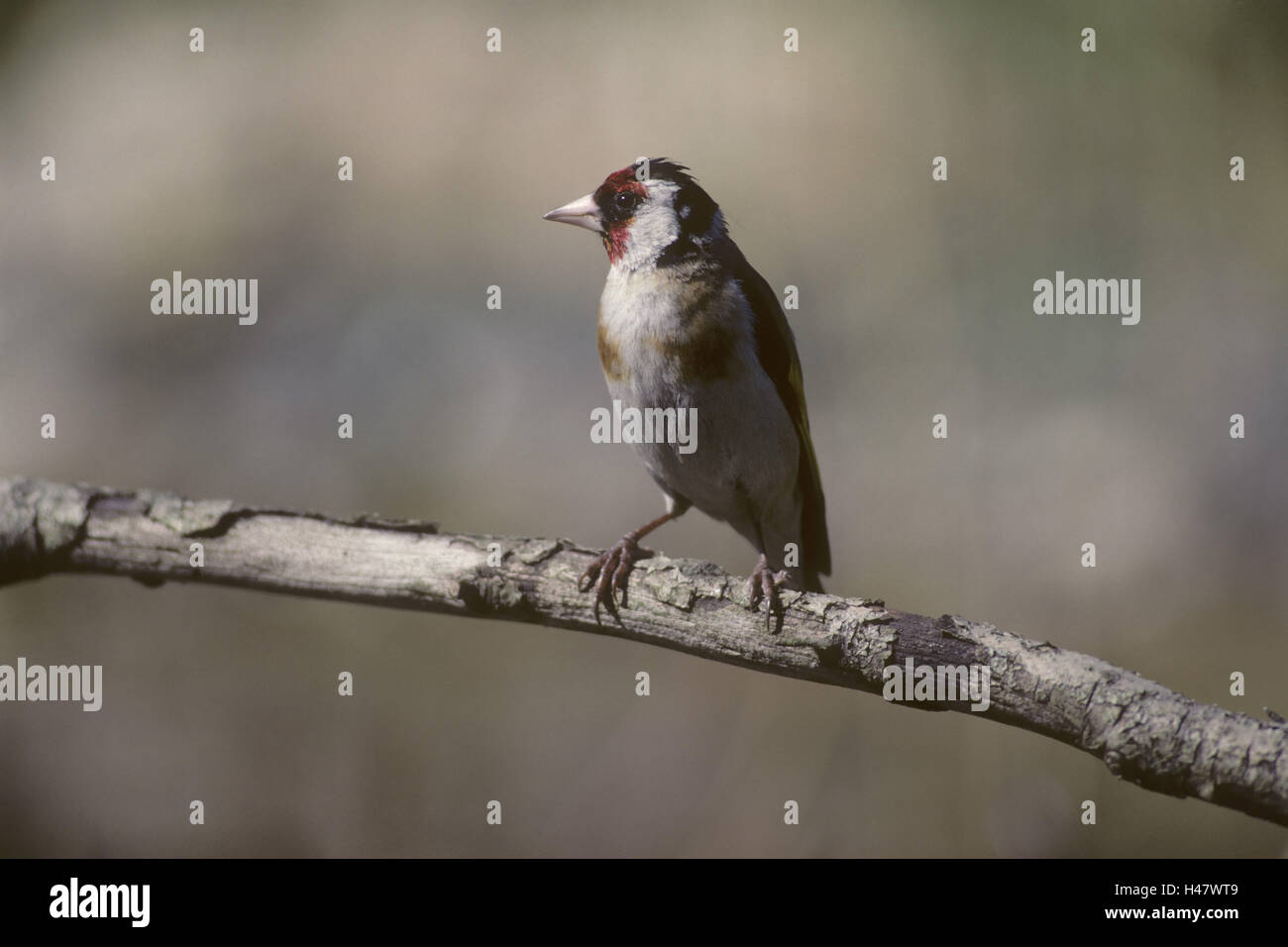 Goldfinch, Carduelis carduelis, branch, sit, - Stock Image