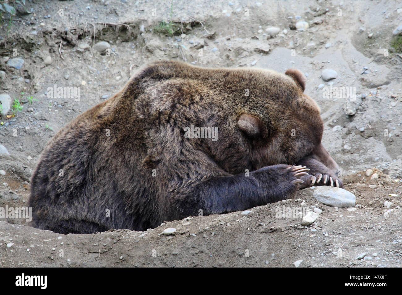 Grizzly bear, asleep, - Stock Image